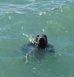 Seal at Gogarth